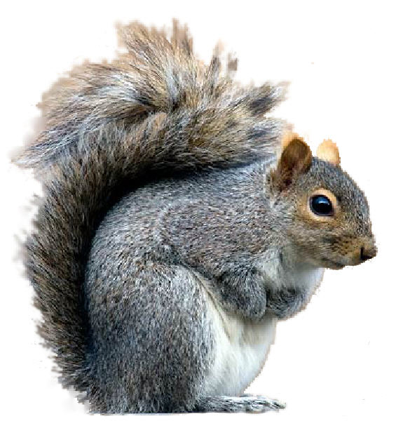 owl-Pest-Control-Grey-squirrels (1)